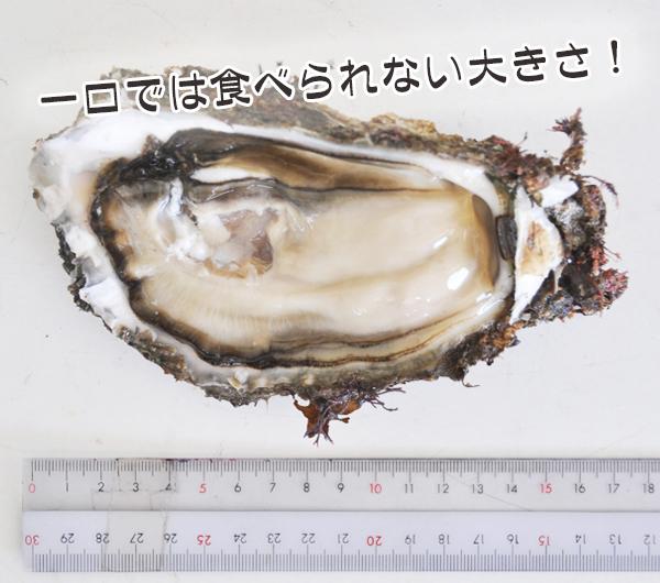 産卵を控えた岩牡蠣は大きい