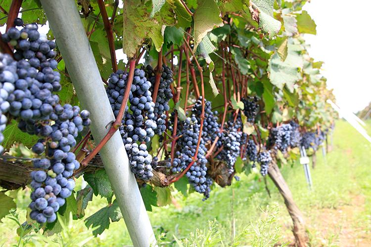 能登ワインの葡萄畑